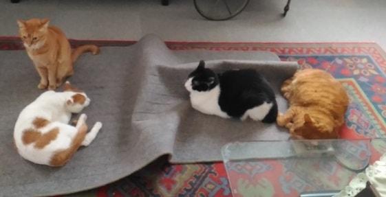 Carpet_4catsmin